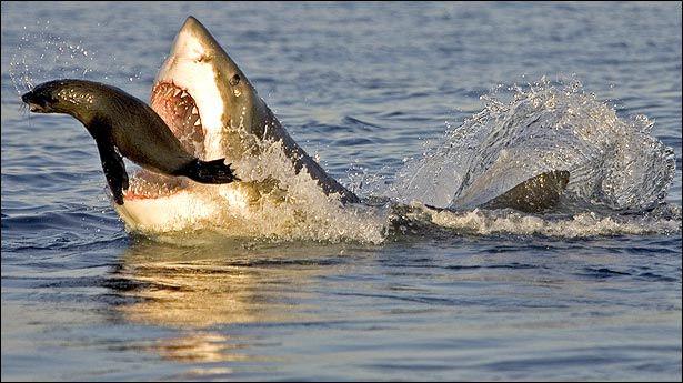 imagenes-de-tiburones-3.jpg